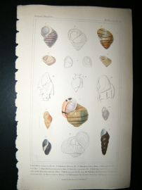 Cuvier C1835 Antique Hand Col Print. Shells #21
